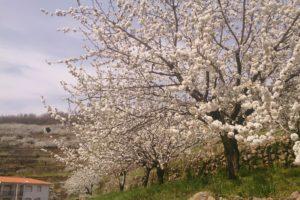 Velle del Jerte cerezos en flor